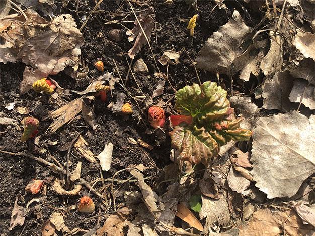 rhubarb shoots